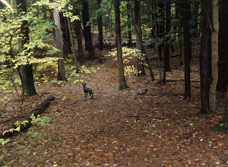 狗在秋天森林里 免版税图库摄影