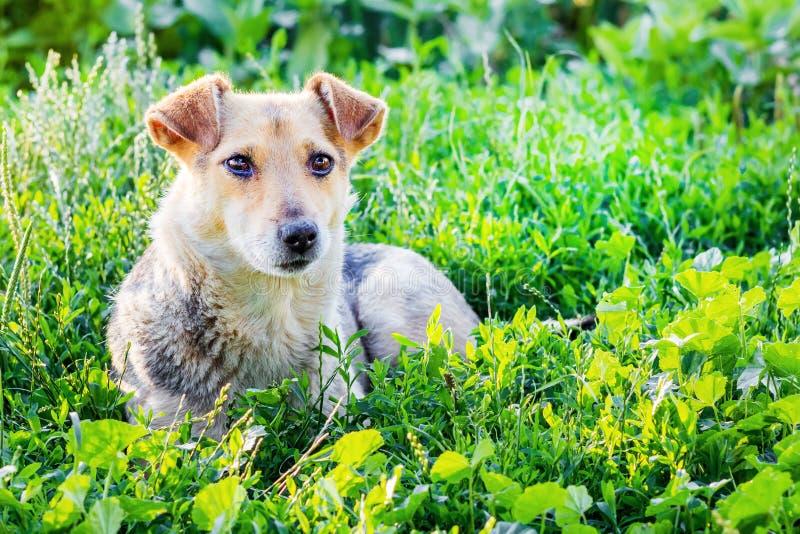 狗在草放置在夏天晴朗的day_的庭院里 免版税库存图片