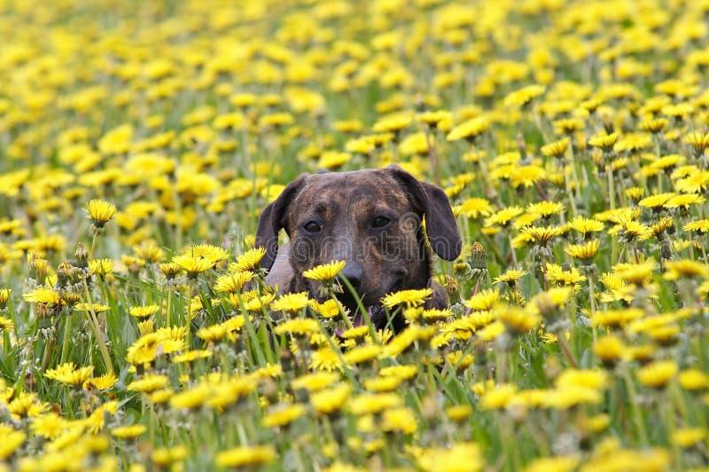 狗在草甸 免版税库存照片