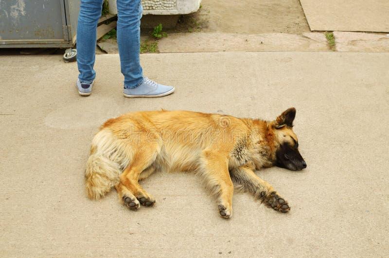 狗在路面睡觉 免版税库存图片