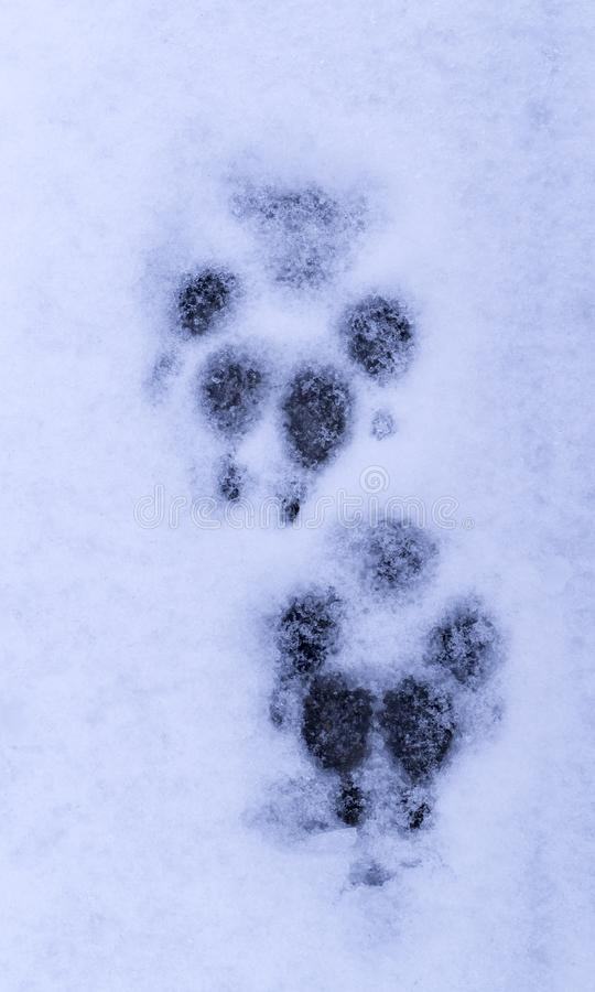 狗在雪的爪子印刷品 背景 免版税库存照片