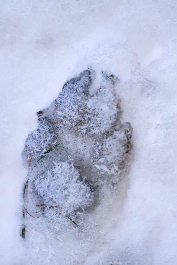 狗在雪的脚印刷品 库存图片