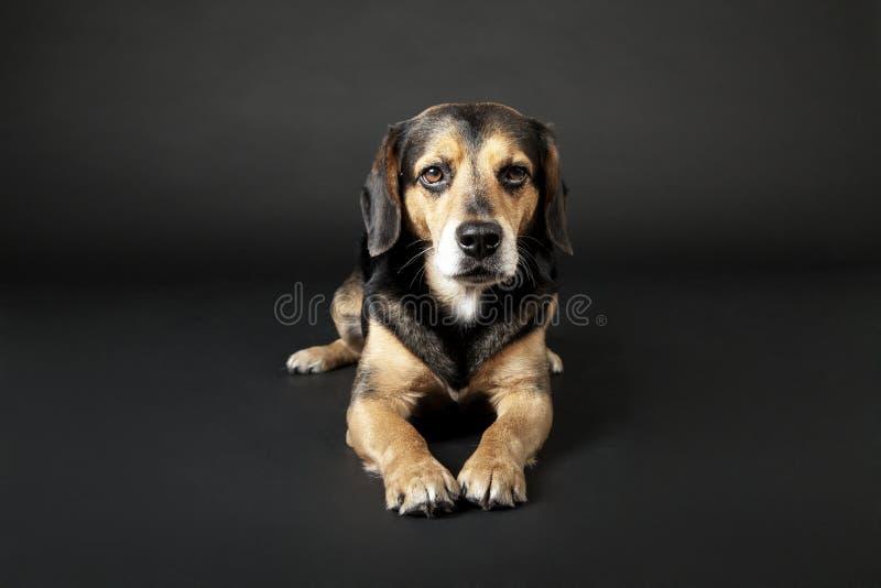 狗在黑背景说谎 库存图片
