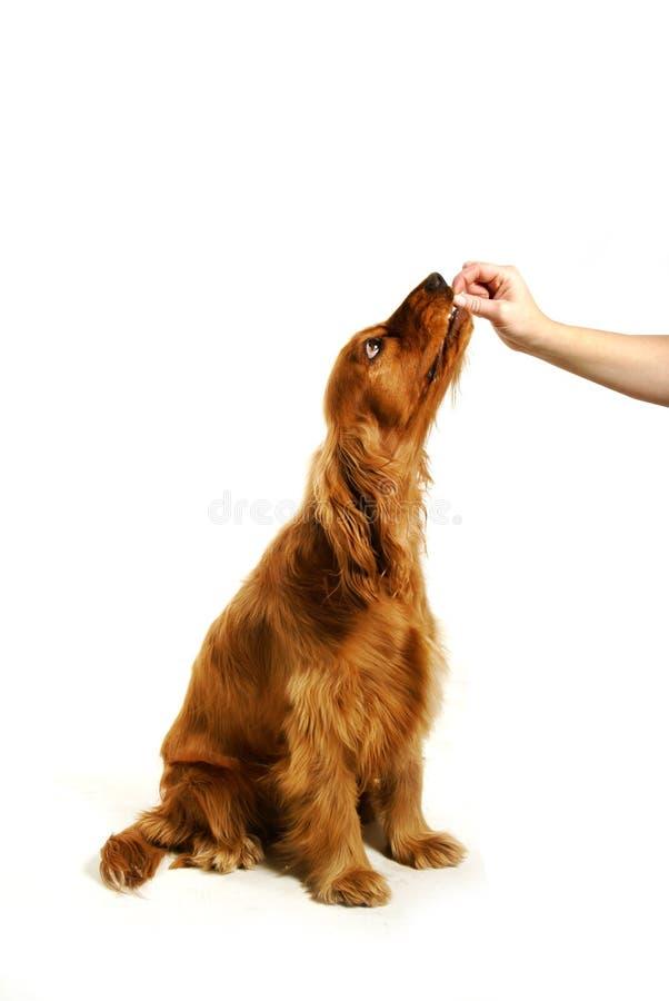 狗坐培训 库存照片