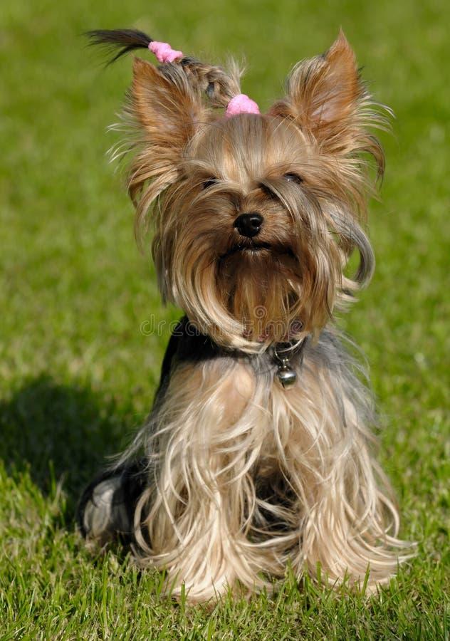 狗坐的狗约克夏 库存图片