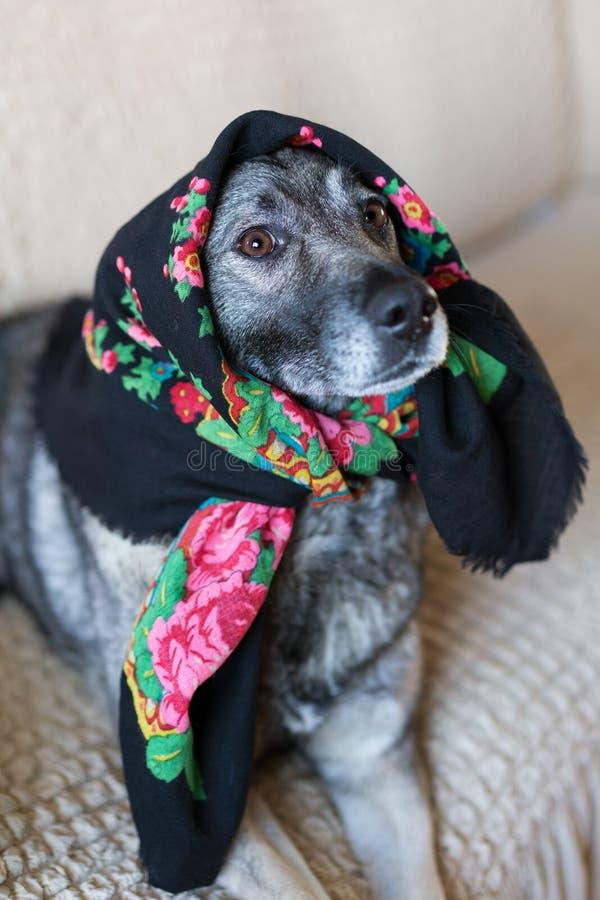 狗坐长沙发 狗的头用班丹纳花绸报道 图库摄影