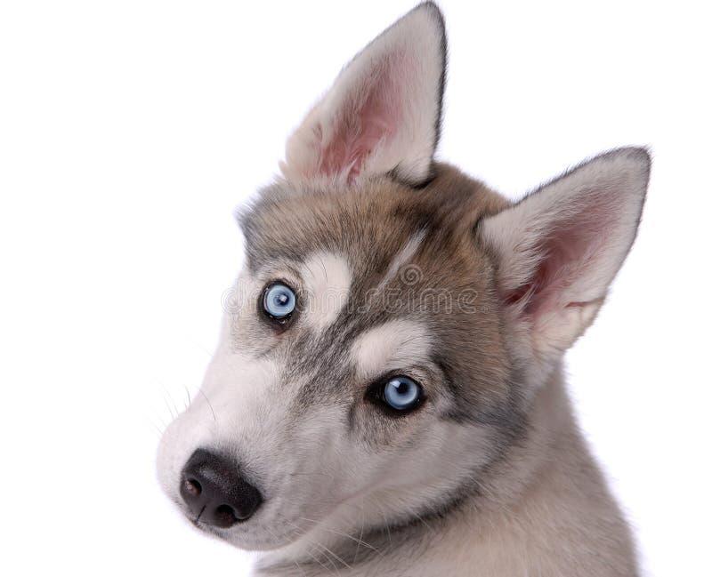 狗多壳的小狗西伯利亚人 免版税图库摄影