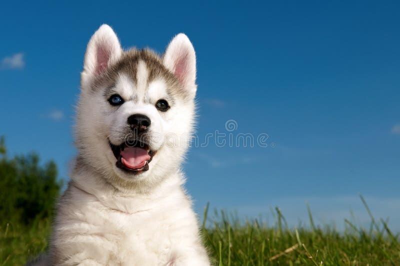 狗多壳的小狗西伯利亚人 免版税库存照片