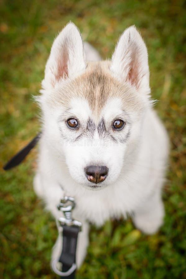 狗多壳的小狗西伯利亚人 免版税库存图片