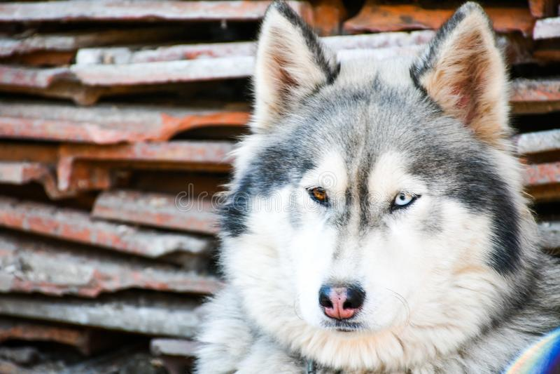 狗多壳的西伯利亚人 免版税图库摄影