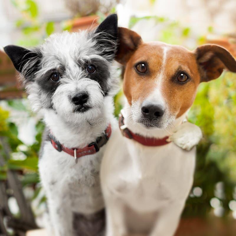 狗夫妇在爱的在公园 免版税库存图片