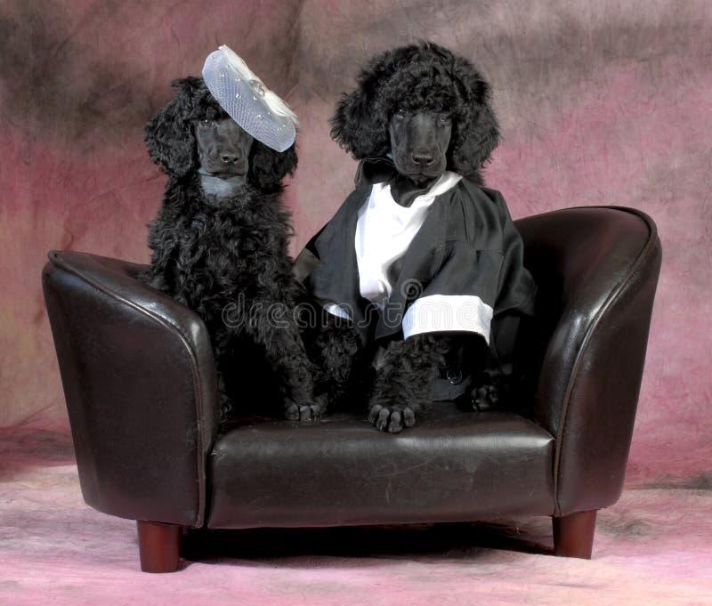 狗夫妇 免版税库存图片