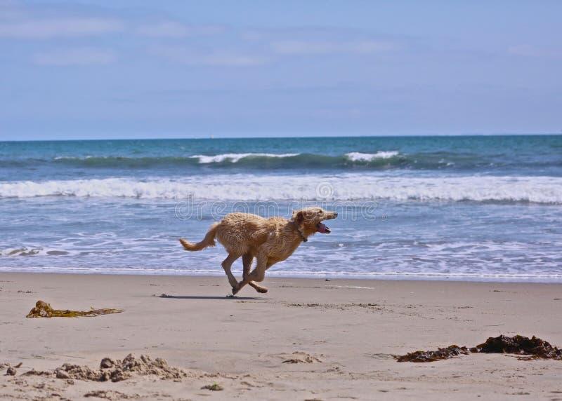 狗奔跑海滩 库存图片