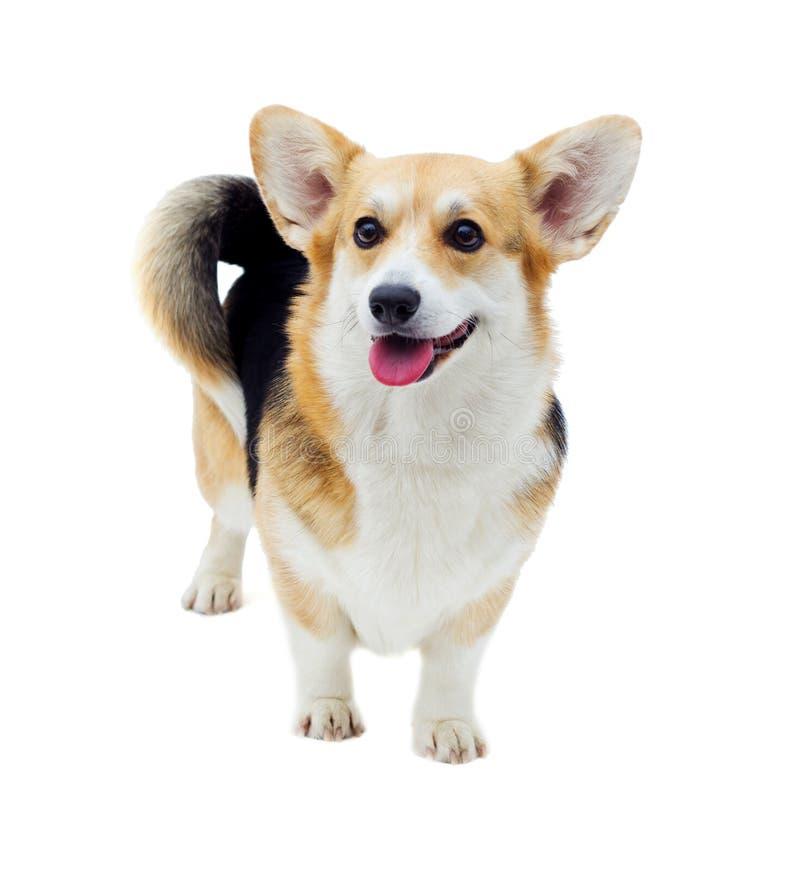 狗威尔士小狗彭布罗克角 库存照片