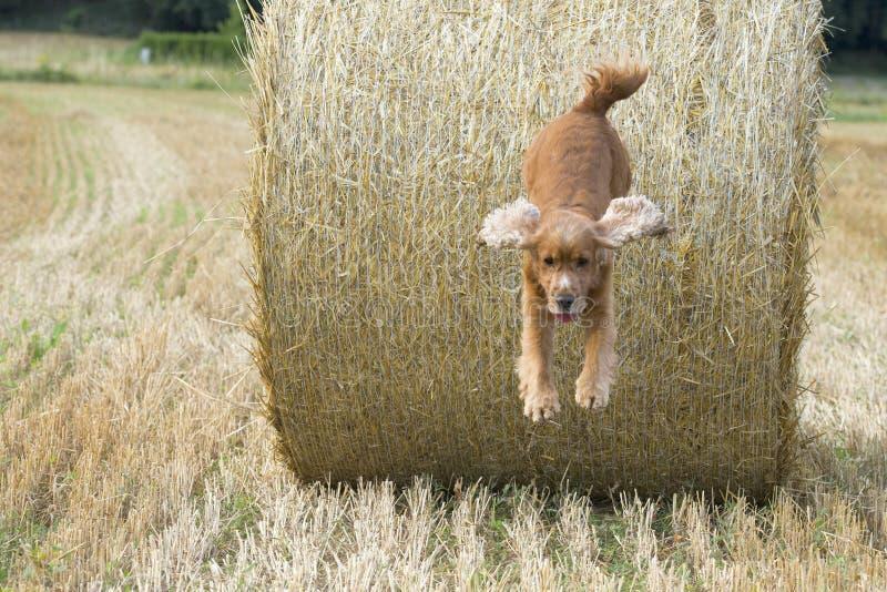 狗小狗猎犬跳跃的干草 免版税库存图片