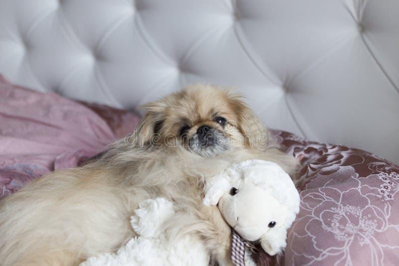 狗小狮子狗在床上在 免版税库存照片