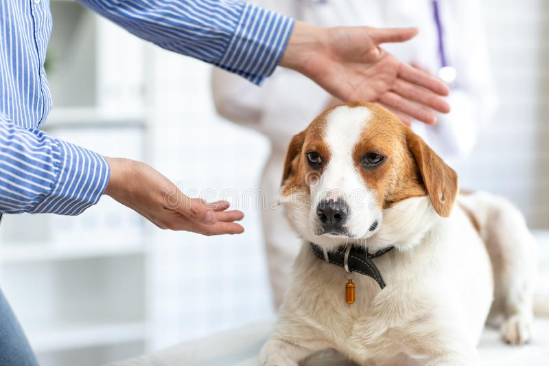 狗展示的所有者兽医一条病的狗 兽医诊所被弄脏的背景  库存图片