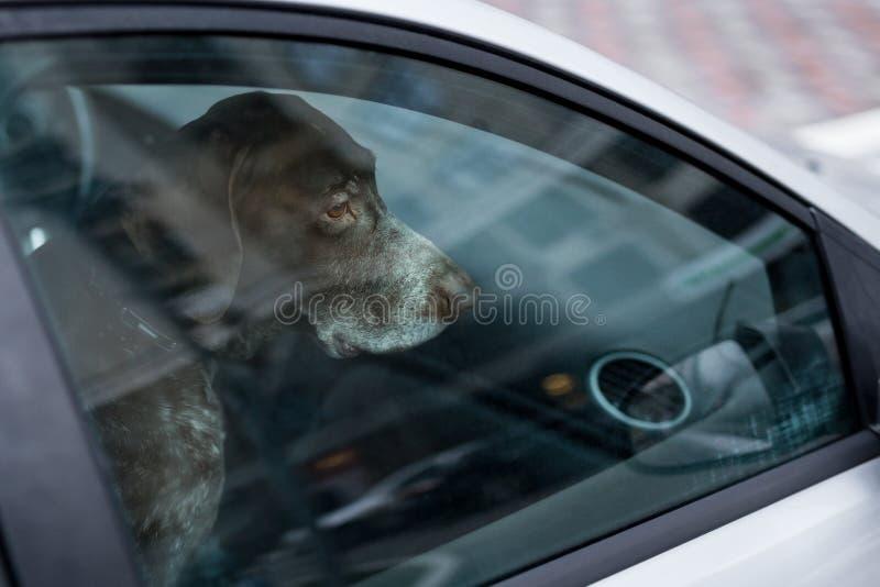 狗左单独在锁着的汽车 在封闭空间的被放弃的动物 宠物过度加热或低体温症的危险 所有者` s疏忽和 免版税库存照片