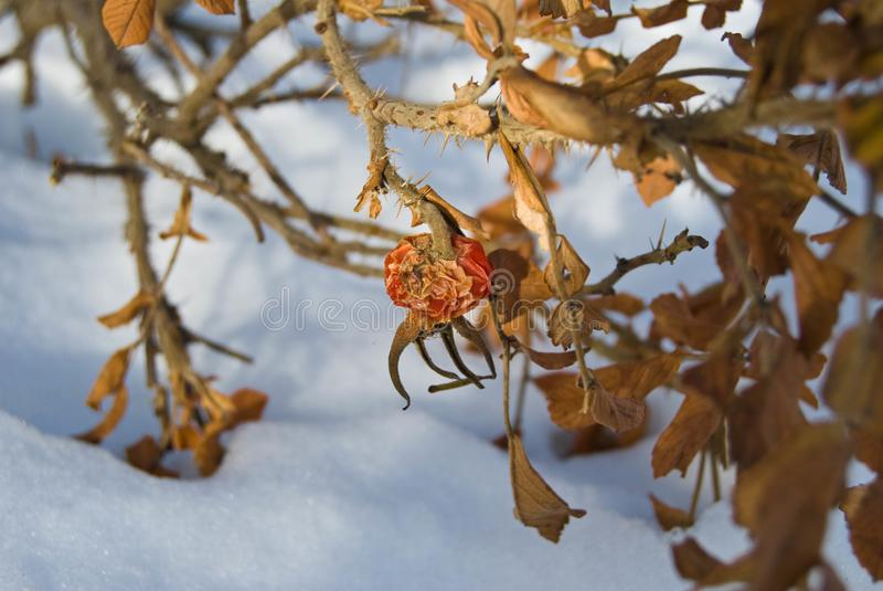 狗干燥臀部和叶子上升了在雪下 免版税库存照片