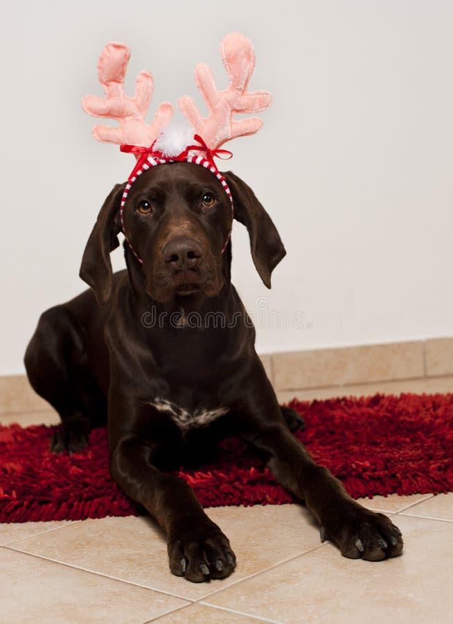 狗当圣诞节驯鹿 库存图片