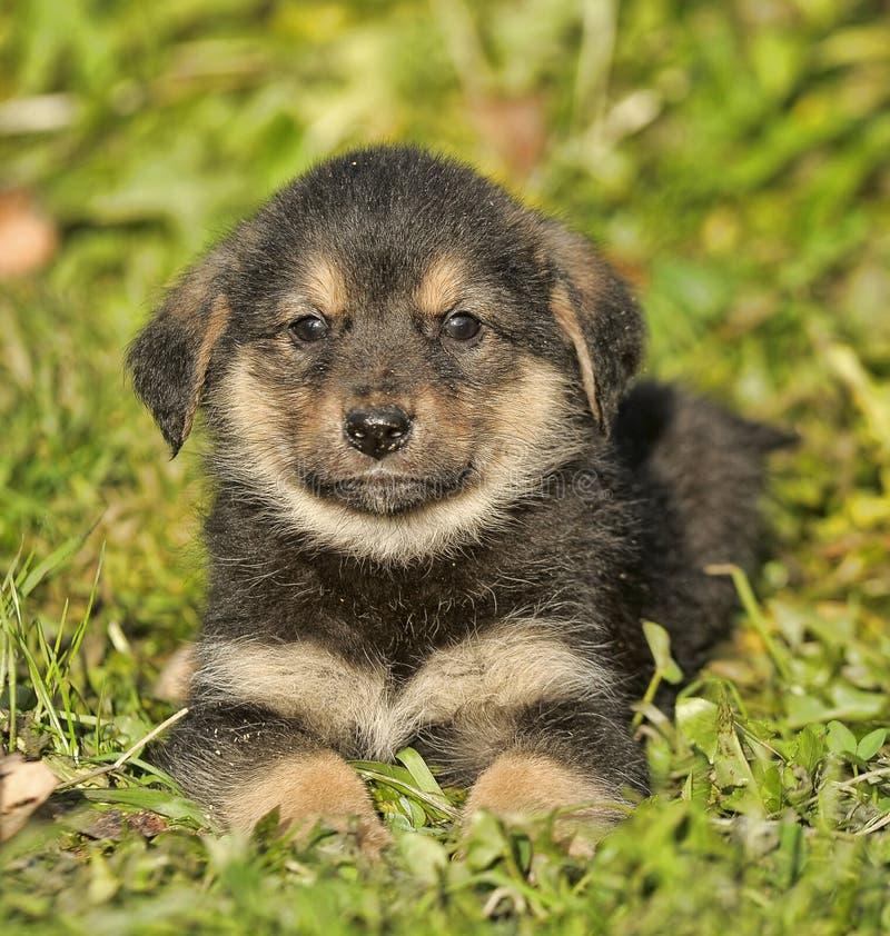 狗德国牧羊犬年轻人 库存图片