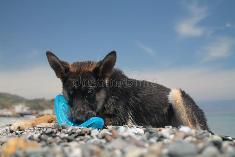 狗德国牧羊犬年轻人 图库摄影