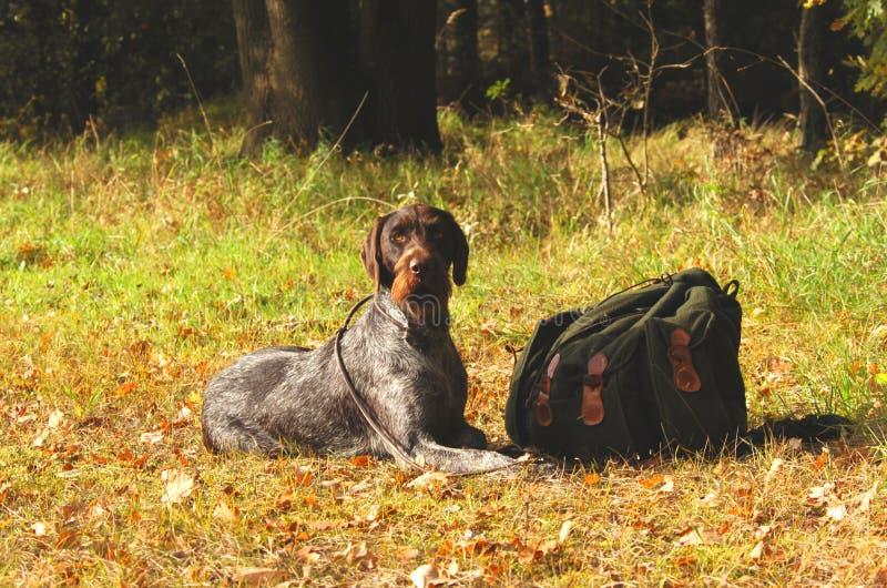 狗德国狩猎 免版税库存照片