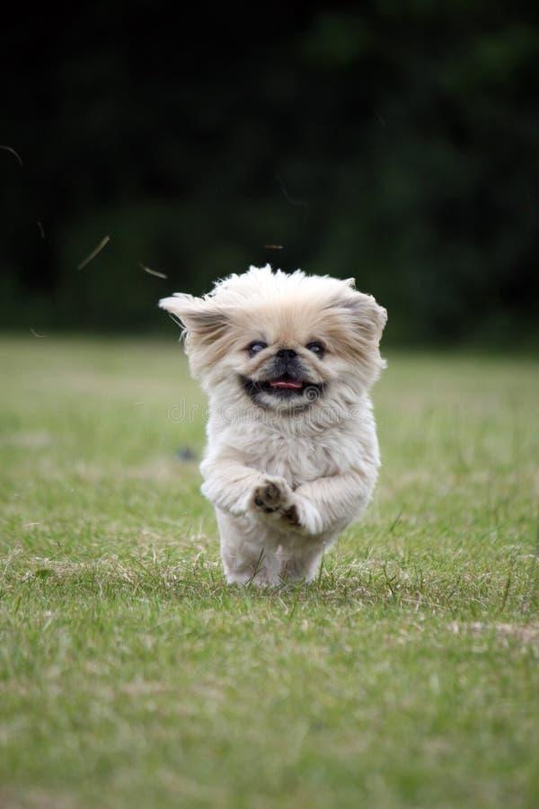狗愉快的运行中 库存图片