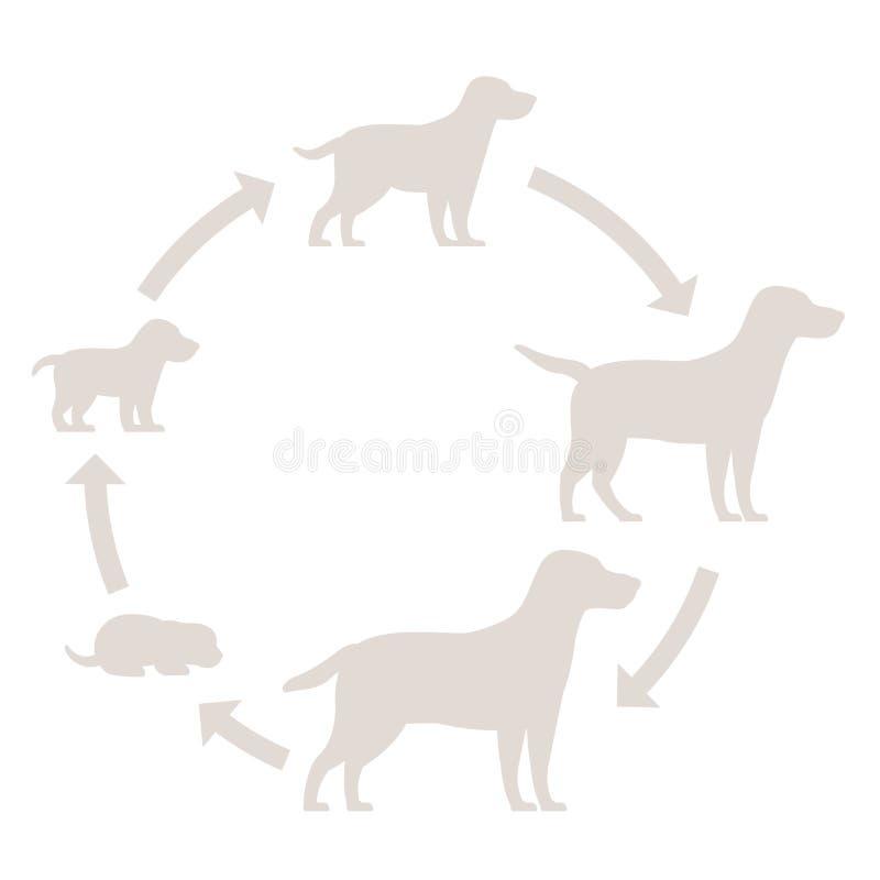 狗成长剪影集合圆的阶段  从小狗到成人狗发展 动物哺乳动物宠物 拉布拉多猎犬 库存例证