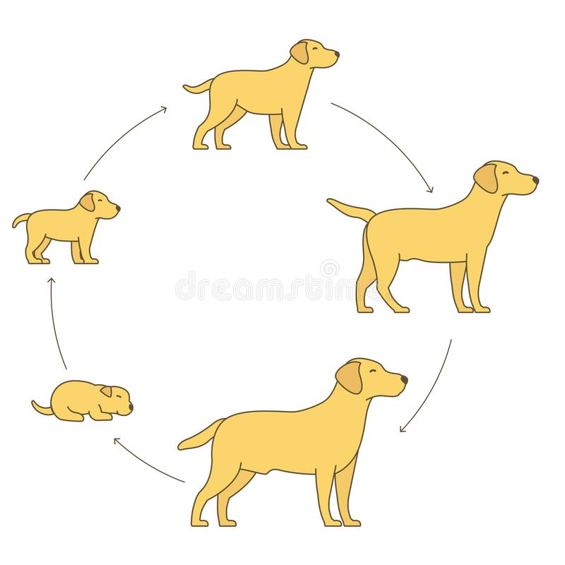 狗成长集合圆的阶段  从小狗到成人狗发展 动物哺乳动物宠物 拉布拉多猎犬长大圈子 向量例证