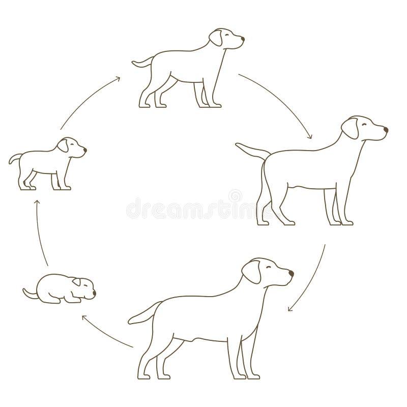 狗成长集合圆的阶段  从小狗到成人狗发展 动物哺乳动物宠物 拉布拉多猎犬长大圈子 库存例证