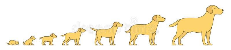 狗成长集合阶段  从小狗到成人狗发展 动物哺乳动物宠物 拉布拉多猎犬长大动画 库存例证