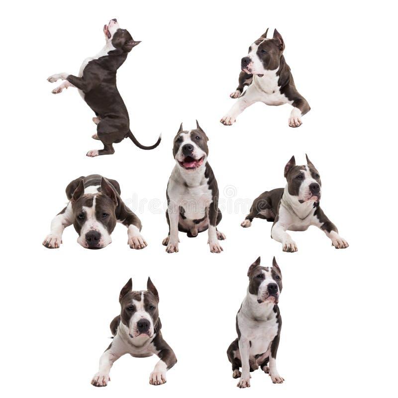 狗战斗在白色背景养殖-美国美洲叭喇狗-在被隔绝的演播室 拼贴画 免版税图库摄影