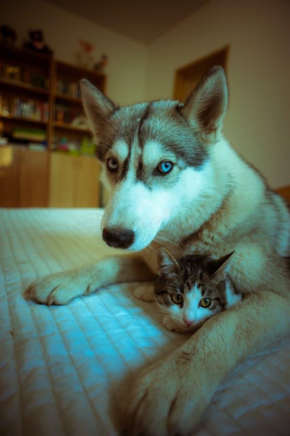 狗拥抱一只猫 逗人喜爱的蓝眼睛的多壳的小狗和 库存照片
