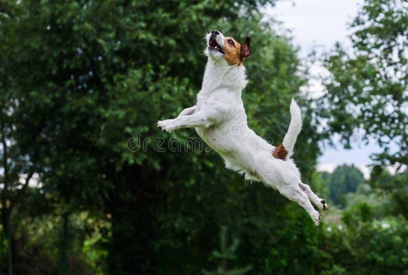 狗敏捷性:飞行的狗跳跃和高 免版税库存照片