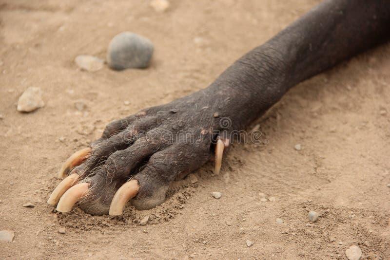 狗无毛的秘鲁人 免版税库存照片
