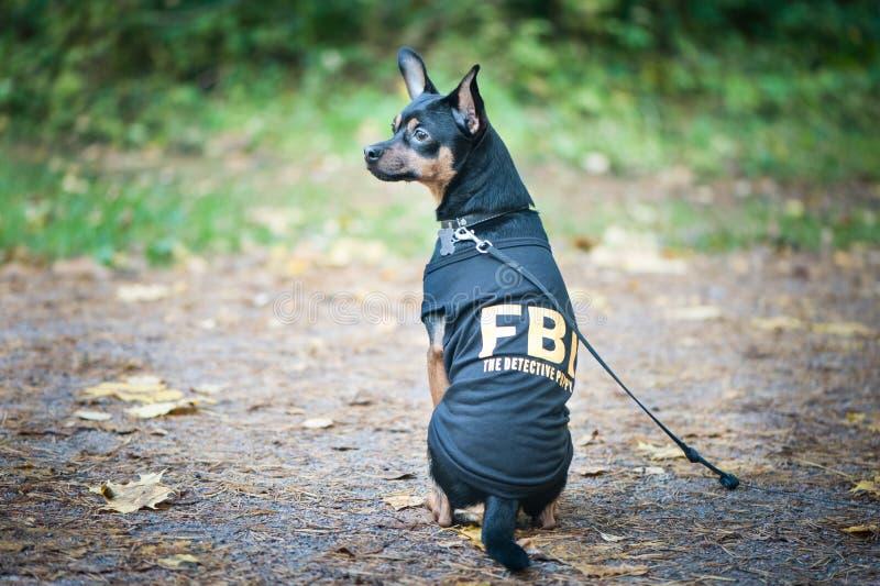 狗是联邦调查局特工 在服装fbi的滑稽的小狗玩具狗 免版税库存图片