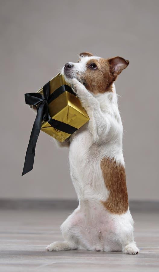 狗有礼物的杰克罗素 免版税库存照片