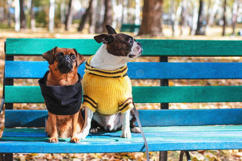狗朋友在秋天公园、波士顿狗和小brabanson坐一条长凳 库存图片