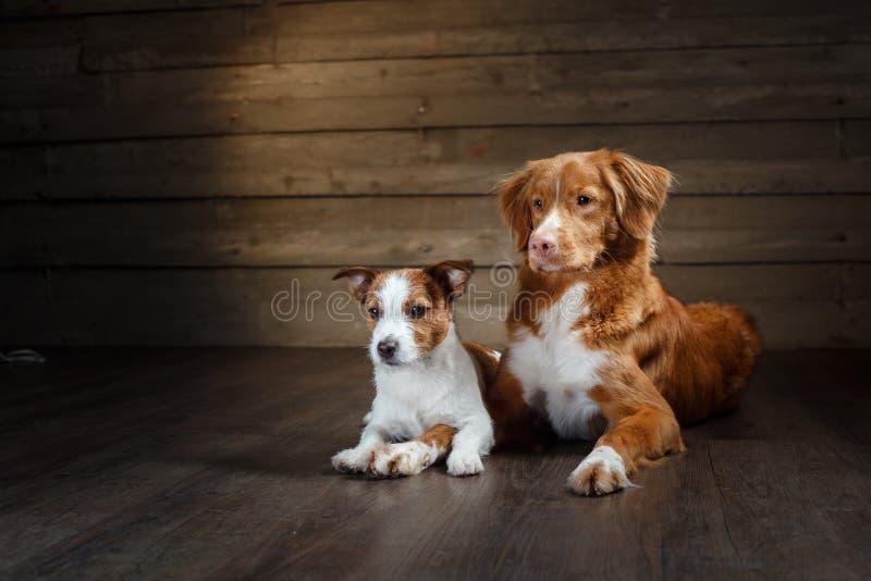 狗杰克罗素狗和新斯科舍低头在演播室的敲的猎犬画象 免版税库存照片