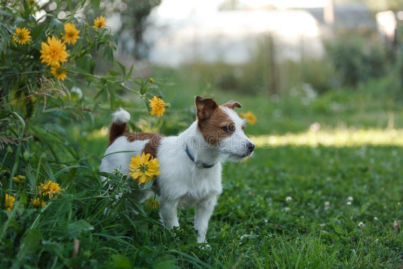 Download 狗杰克罗素狗在自然走 库存图片. 图片 包括有 敌意, 本质, 草甸, 愉快, 查找, 横向, 快速, 滑稽 - 59105061