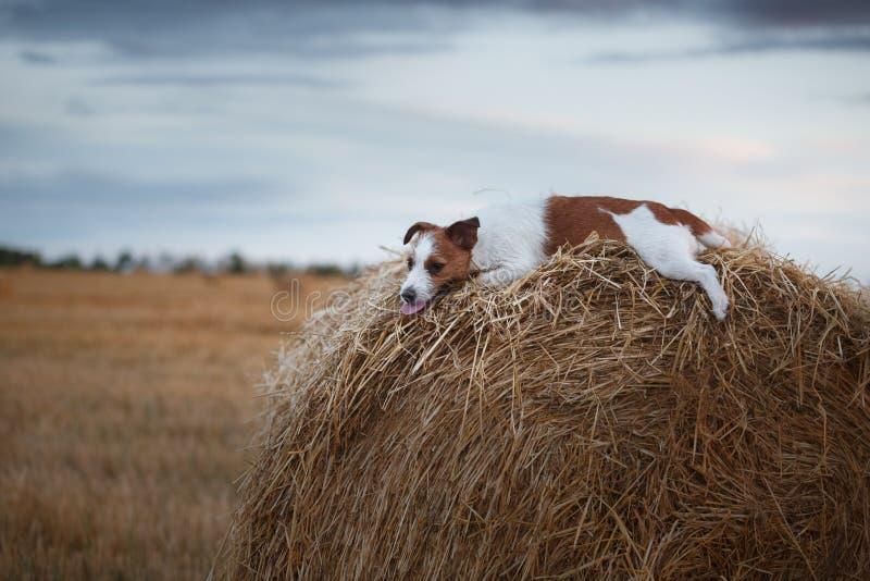 Download 狗杰克罗素狗在自然走 库存照片. 图片 包括有 作用, 少许, 横向, 逗人喜爱, 竹子, 女孩, 孩子 - 59105264