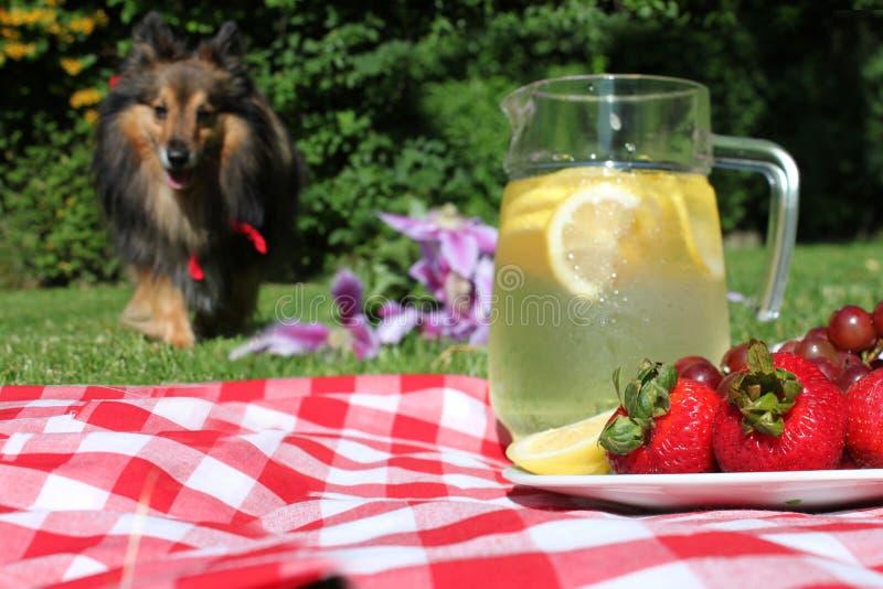 狗柠檬水野餐 免版税库存照片
