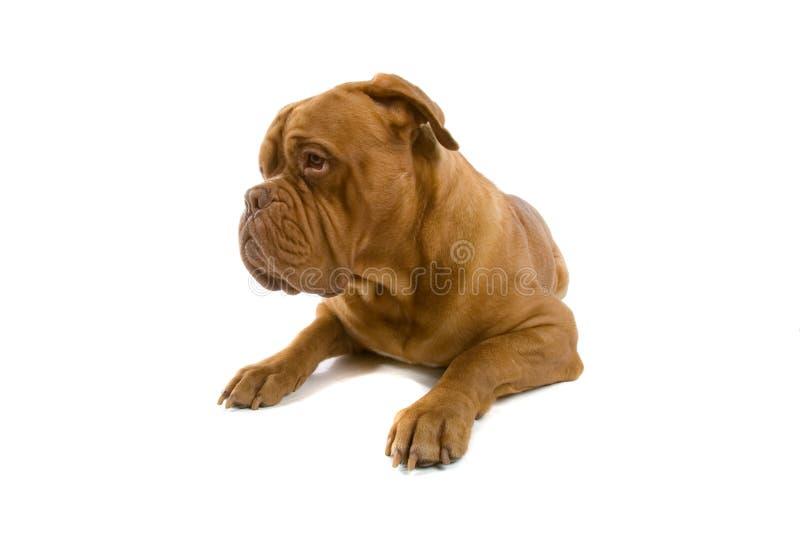 狗法语大型猛犬 免版税图库摄影