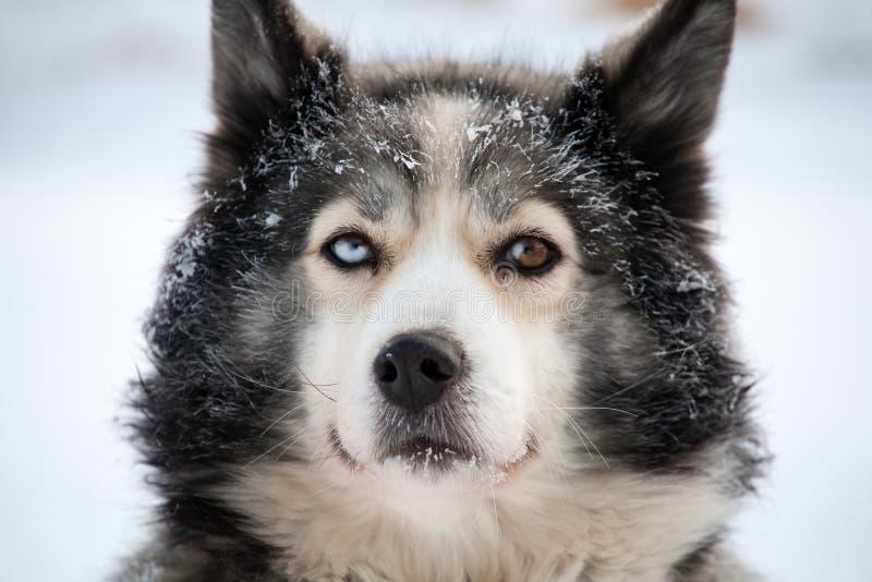 狗注视多色雪撬 免版税库存照片
