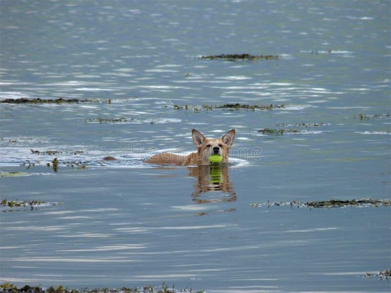 狗游泳 免版税库存照片