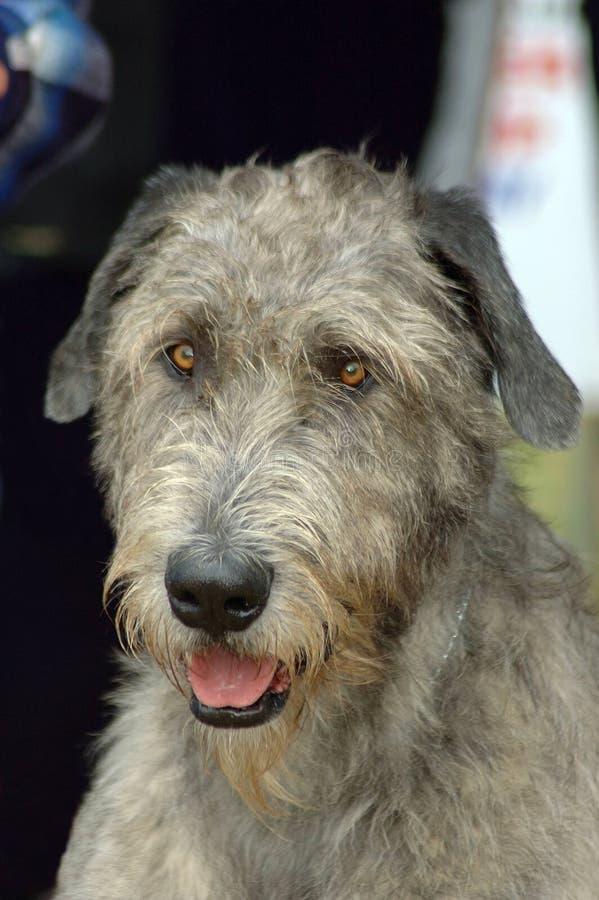 狗爱尔兰猎犬 免版税库存照片