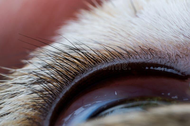狗特写镜头的上部眼皮 图库摄影