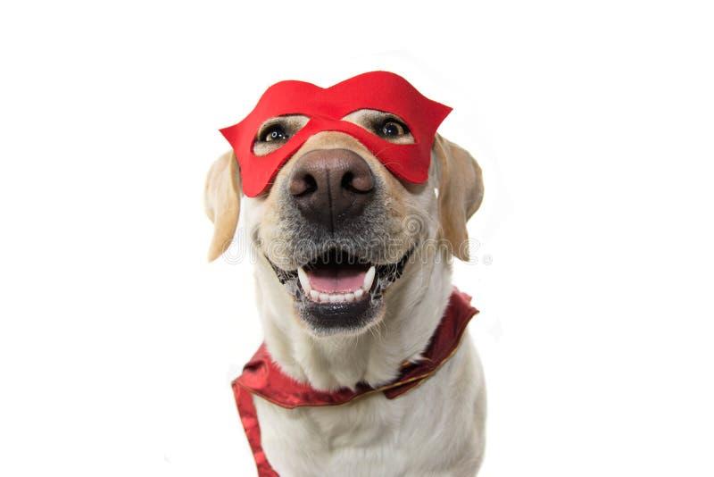 狗特级英雄服装 佩带一个红色面具和海角的拉布拉多特写镜头 狂欢节或万圣夜 被隔绝的演播室被射击反对 库存照片