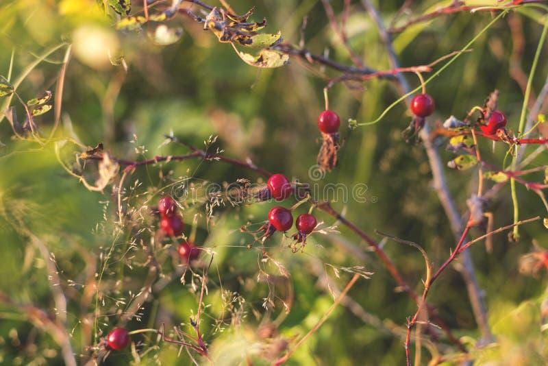 狗玫瑰莓果特写镜头在秋天的 狗玫瑰色果子或罗莎canina 狂放的野玫瑰果在自然背景中 库存图片
